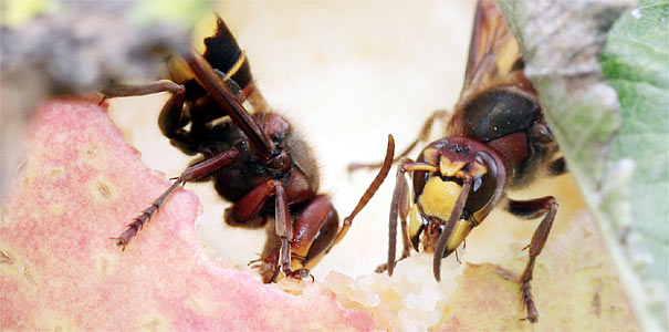 Hornissen fressen an Apfel - Foto: Helge May