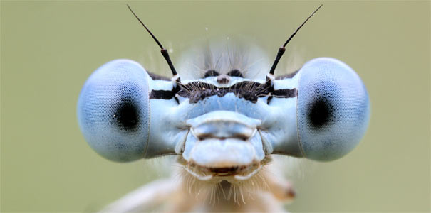 Federlibelle - Foto: Frank Derer