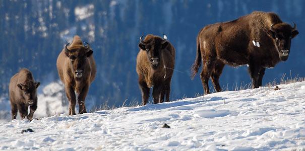 Bergwisente im Kaukasus - Foto: Sergej Trepet