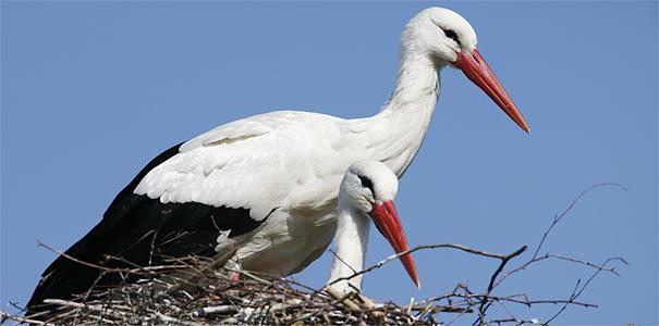 Weißstorchpaar im Nest - Foto: Frank Derer
